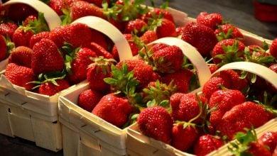 Photo of Kunratické jahody – samosběr iprodej nejlepších jahod