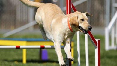 Photo of Agility – základy, pravidla ipřekážky sportu pro psy