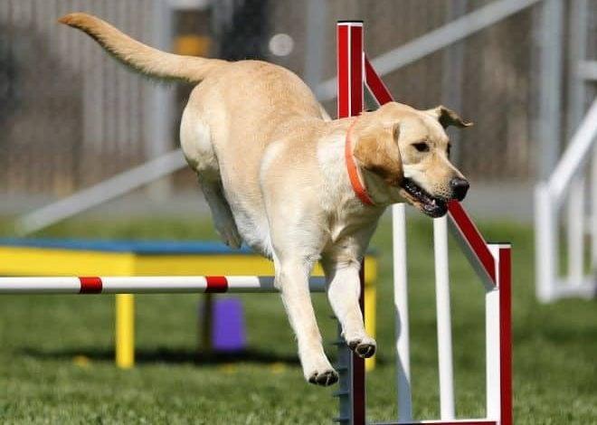 Agility - závod pro psy