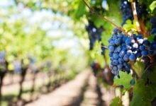 Photo of Vína avinařství – historie adruhy vína